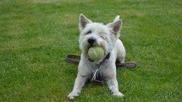 Dog biting tennis ball at Paws on Main